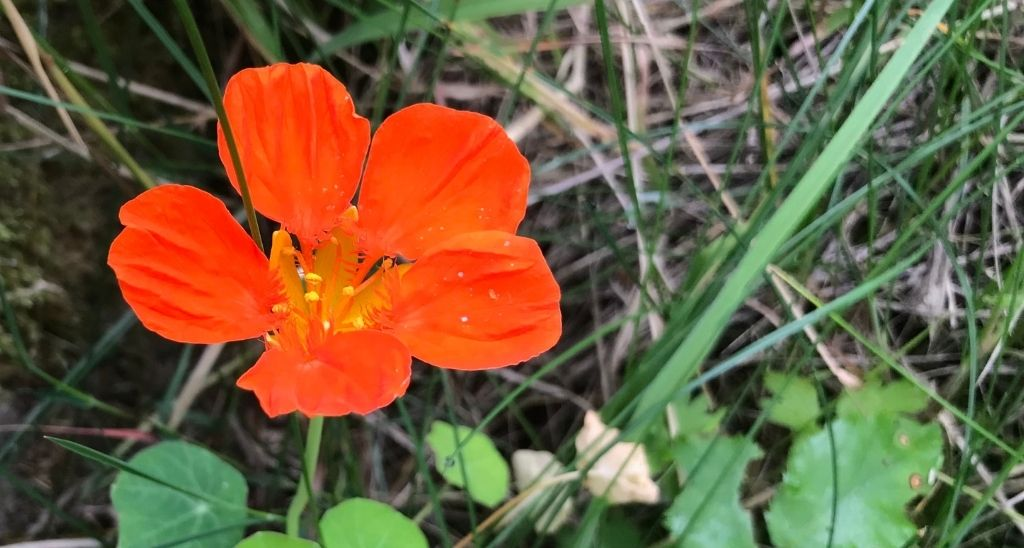 where-are-all-the-nasturtiums